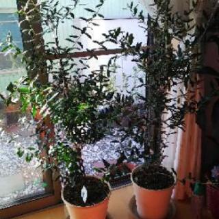 オリーブの挿し木(剪定した挿し木のみお譲り)