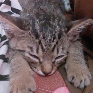 3ヶ月(オス)子猫