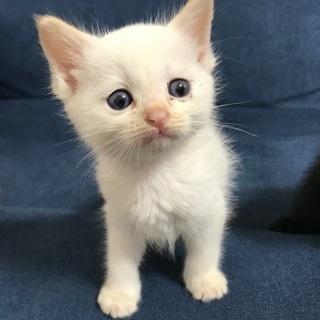 生後2ヶ月位の白猫(メス)