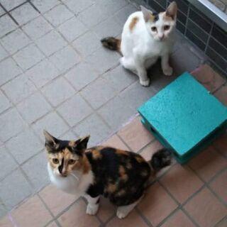 きれいな柄違いの三毛猫ちゃんの姉妹。5ヶ月くらい。