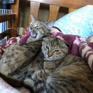 垂れ耳と立ち耳の子猫 里親募集