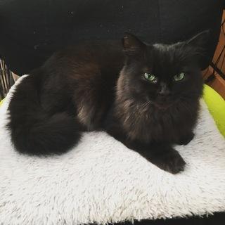 超めずらしい黒長毛の成猫ちゃん オス