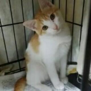 ★子猫(茶白オス)チャオくん 4ヶ月くらい