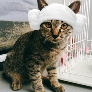 去勢手術はこちらでして、お渡しします。ハンサムなきじ猫ちゃんです。 − 大分県