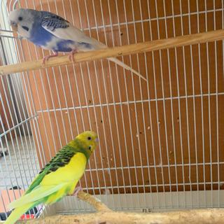 セキセイインコ2羽大切に育てて頂ける方!