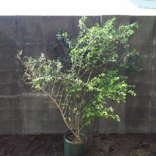 【無料】大きなオリーブの木 レッチーノ