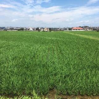 最高品質1等米!減農薬キヌヒカリ新米10キロ~の画像