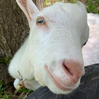 ヤギの訪問始めました