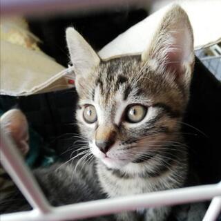 8/1うまれのキジトラ3匹と黒猫1匹の里親さん募集します。