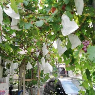 巨峰葡萄の木を譲ります