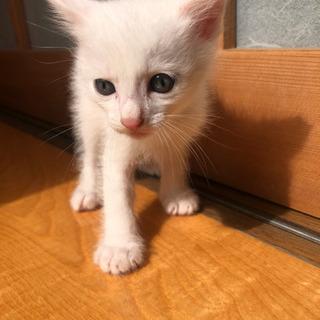 生後1カ月の子猫です