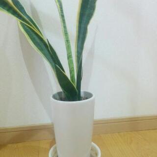 【観葉植物】サンスベリア(植木鉢と受け皿付)
