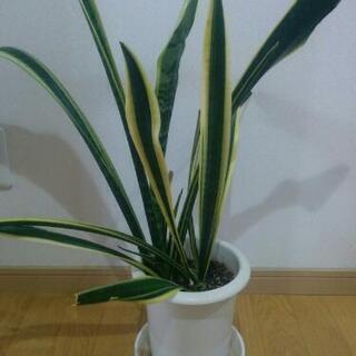【観葉植物】サンスベリア(植木鉢と受け皿付)やや大きめ