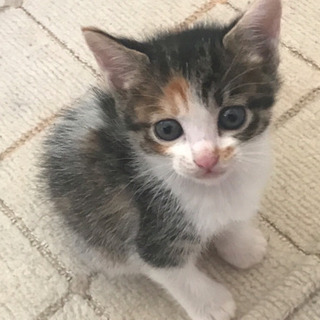 生後1ヶ月 ハチワレ三毛猫 美人ちゃん