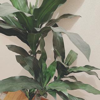 フェイク観葉植物 ニトリ