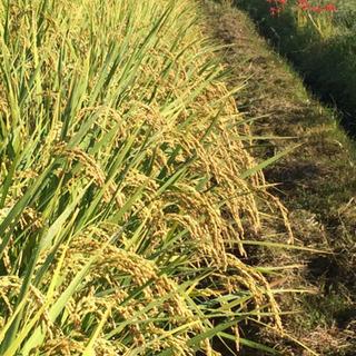 令和元年産  新米  お米 (玄米) です。