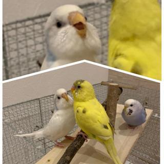 現在交渉中・セキセイインコ 3羽 1歳