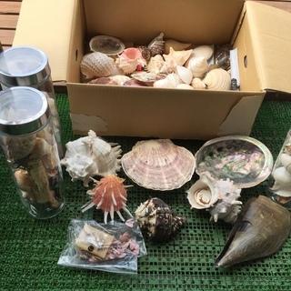 貝殻収集の一部ですがもらって下さい!