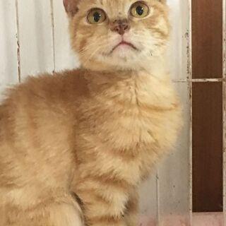 まんまる顔  茶トラ♪コロコロ仔猫♪3ヶ月