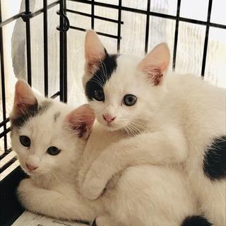 生後2ヶ月の子ネコの里親さんを募集しています!