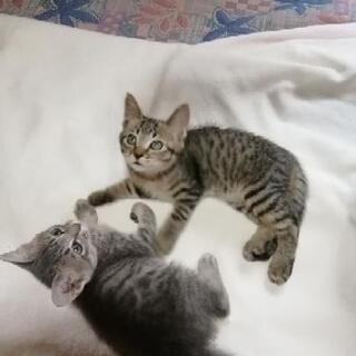 仔猫の里親募集です。可愛さ抜群です。
