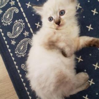 生後2ヶ月のメス猫ちゃん