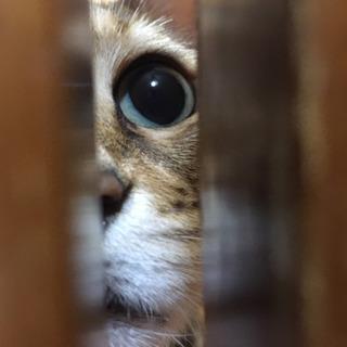 ベンガル猫 3歳です。