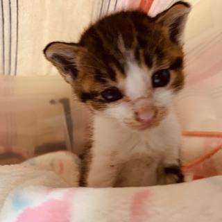 可愛い4週ぐらいの子猫