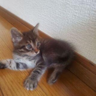 2ヶ月弱の子猫