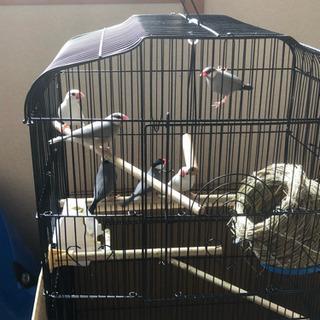 春に産まれた文鳥6羽