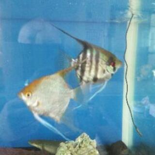 熱帯魚エンゼルフィッシュ ポリプセネガルス デルヘッジ