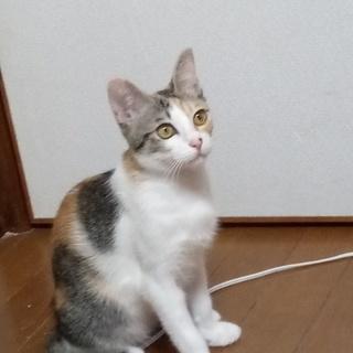 おだやかな性格の美猫三毛ちゃん♪5か月くらいの女の子。しっぼの形...