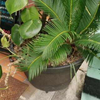 観葉植物(屋外)