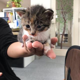 里親様決定しました。ありがとうございました。生後2週間の子猫!里親募集
