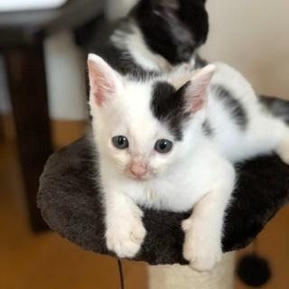超可愛い兄弟猫です❣️ - 福岡市