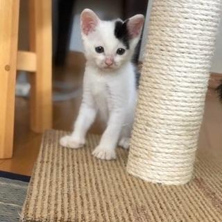 超可愛い兄弟猫です❣️ - 里親募集