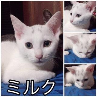 生後3ヶ月の白猫ミルクちゃん里親募集です^_^