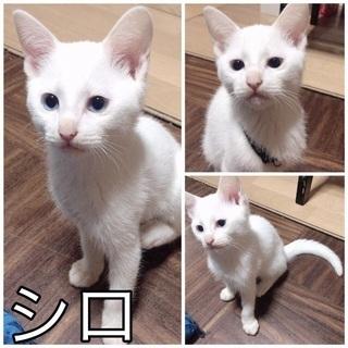 ブルーアイの白猫シロたんの里親募集!