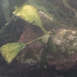 水草付き溶岩石 プレミアムモスとブセファランドラ