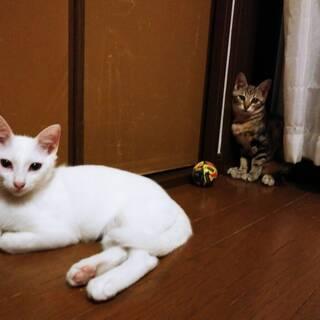 アメショ柄と白色の兄妹猫さん、2匹一緒の募集です - 横須賀市