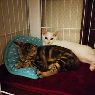 アメショ柄と白色の兄妹猫さん、2匹一緒の募集です