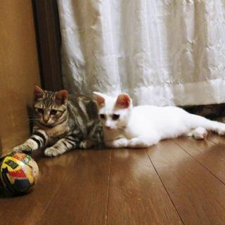 アメショ柄と白色の兄妹猫さん、2匹一緒の募集です - 猫