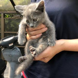 珍しいパステルサビ猫2ヶ月