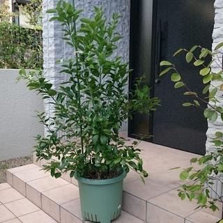 カラマンシー(四季橘チャイナリトルレモン)3年生鉢植え実付き大株