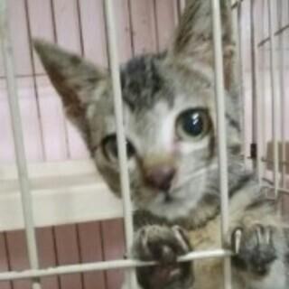☆子猫(黒きじ メス)アニーちゃん 2ヶ月くらい