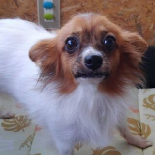 ブリーダー引退犬 バビヨンちゃん5歳