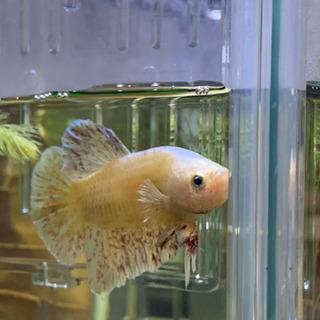 ハーフムーンプラカット  稚魚(3ヶ月半)