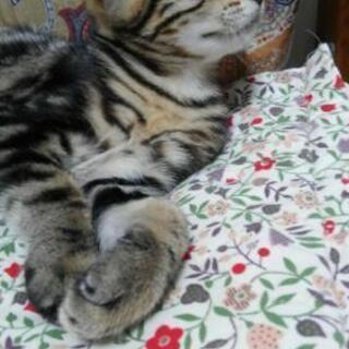 アメショ&三毛猫のハーフ 3ヶ月 オス
