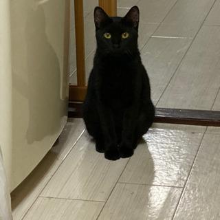 黒猫 生後1〜2歳 美人さん!里親さん募集中!