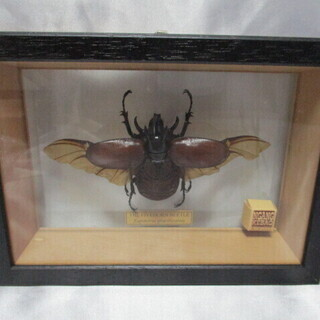 昆虫標本 ゴホンツノカブトムシ グラコロニクス カブト虫